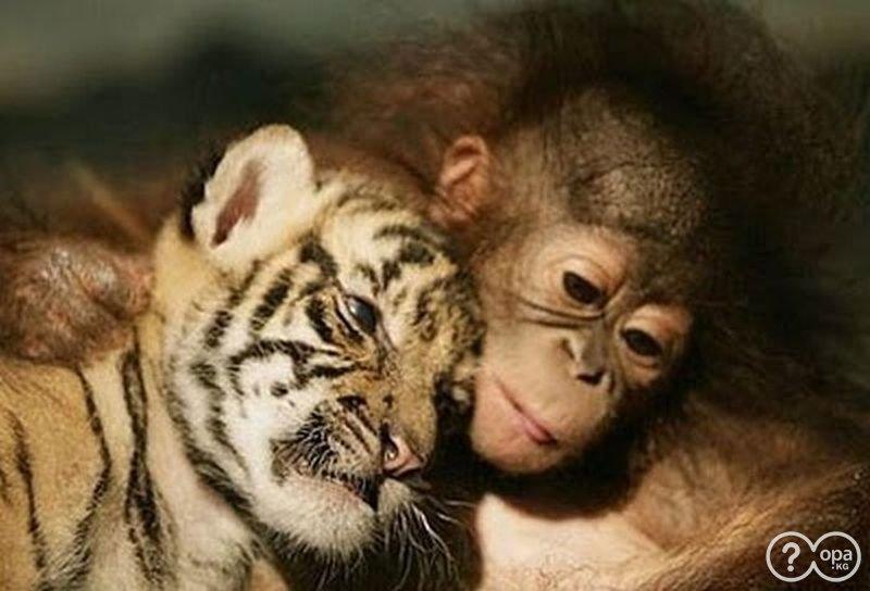 Orangutan y tigre amigos
